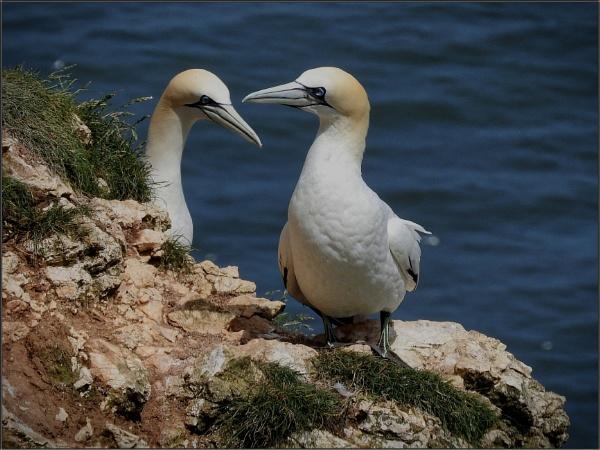 Gannets at Bempton Cliffs (4) by PhilT2