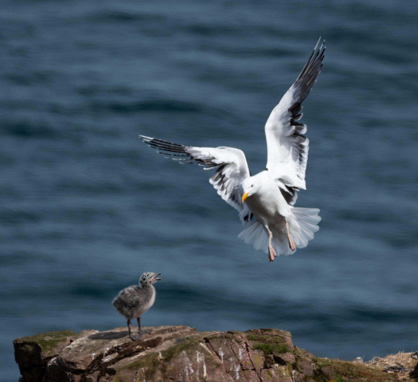 Great Black-Backed Gull Returning to Chick