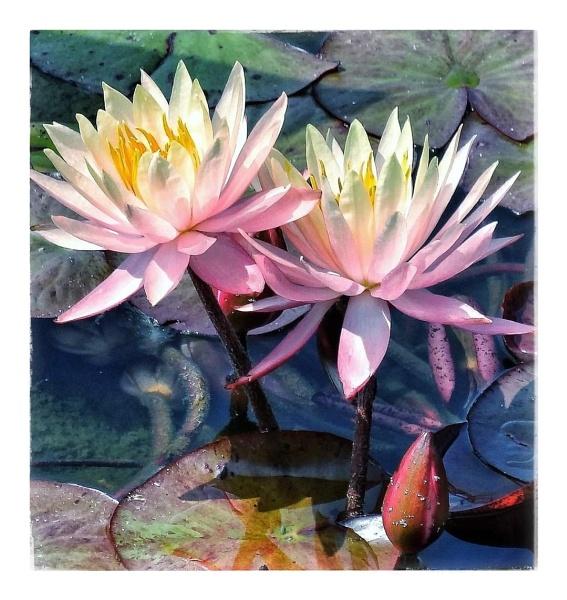 Water Lilies by StevenBest
