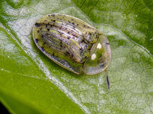 Tortoise beetle (thanks Karen) by chavender