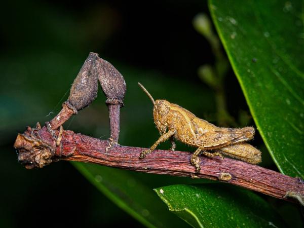 Grasshopper by chavender