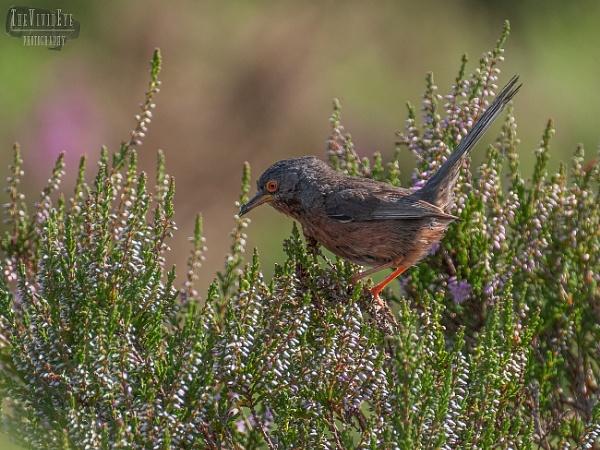The Dartford Warbler by MartinWait