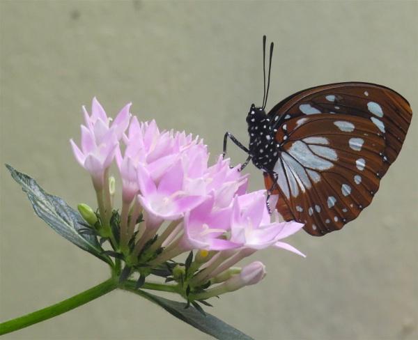 Another Flutterby. by ddolfelin