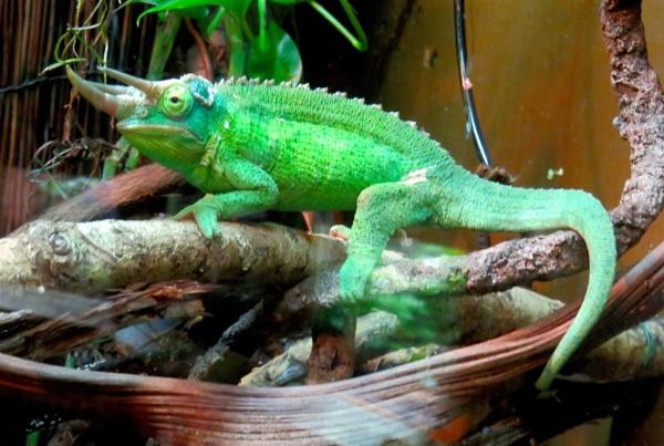 Horny Lizard by ddolfelin