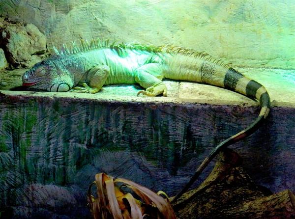Iguana by ddolfelin