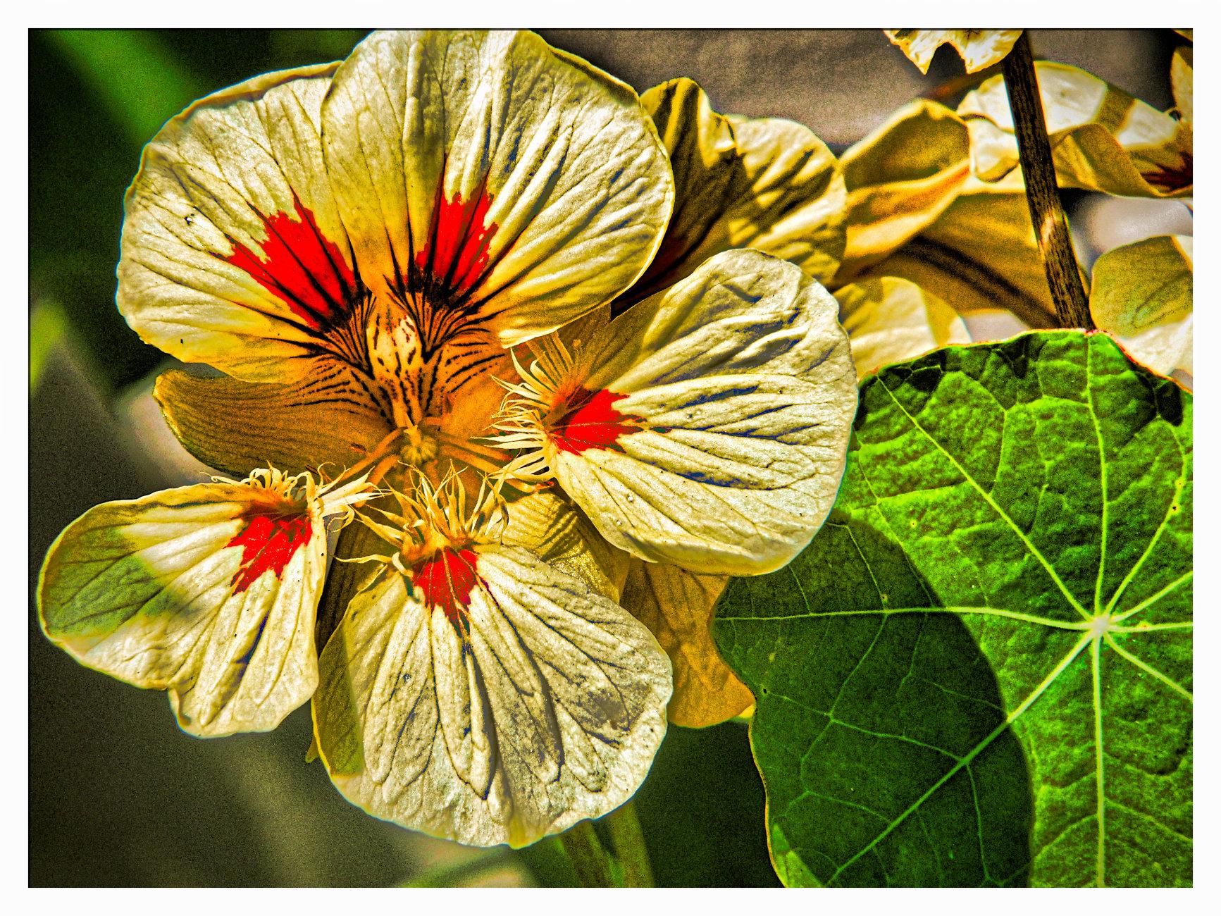 NASTURTIUM FLOWER.