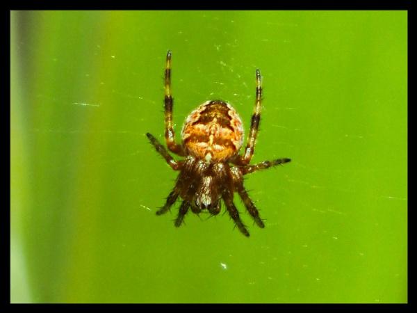SPIDER. by kojack