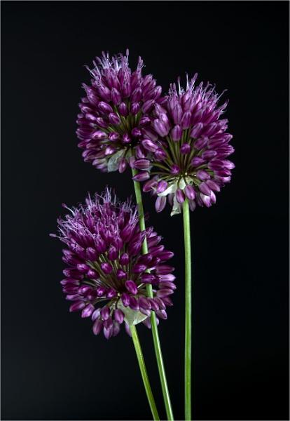 Allium Sphaerocephalon (Round Headed Garlic) by tralfamadorean