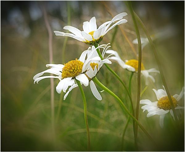 Daisy by capto
