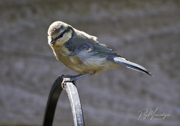 Juvenile Blue Tit by Roymac