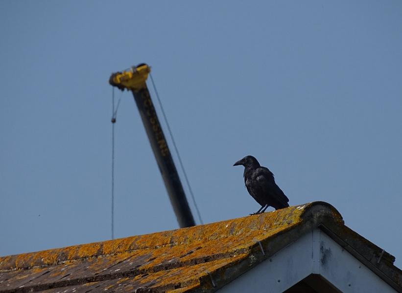 Crow & Crane