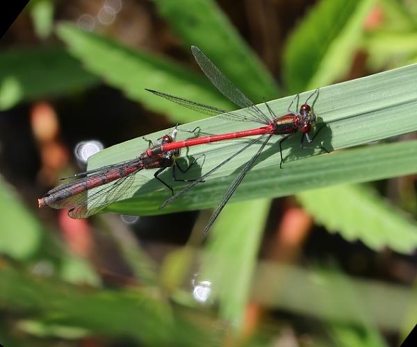 Large Red Damselfly pair by Steveo28