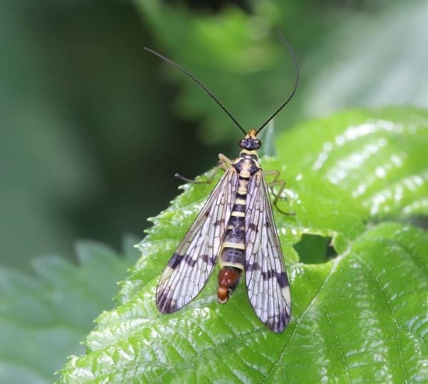 Scorpion Fly by Steveo28