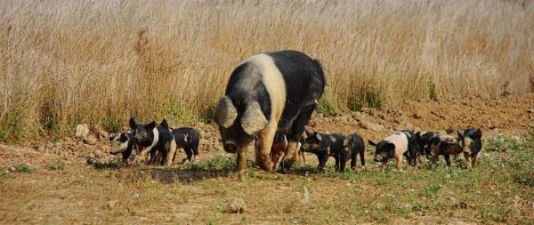 Pigging out ! by af1