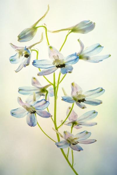 Delphinium by flowerpower59