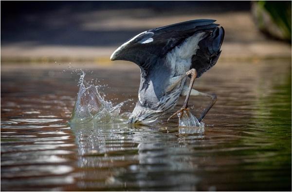 Fishing Heron by Stevetheroofer