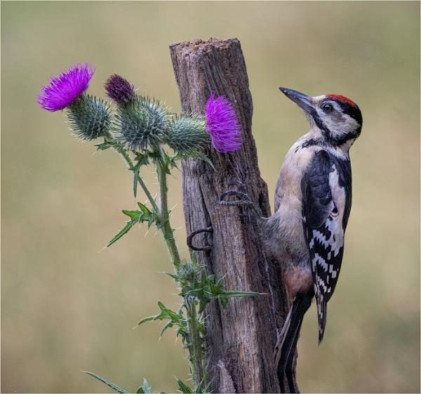 Scottish woodpecker by Stevetheroofer