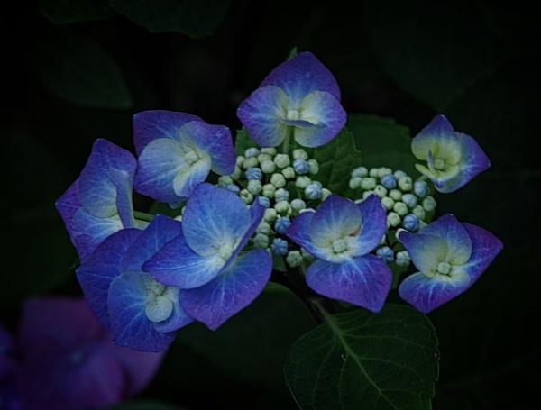 Hydrangea. by Mollycat