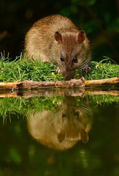 brown rat by StevenFenton