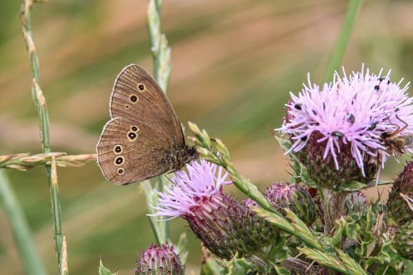 Ringlet Butterfly by Bill_C