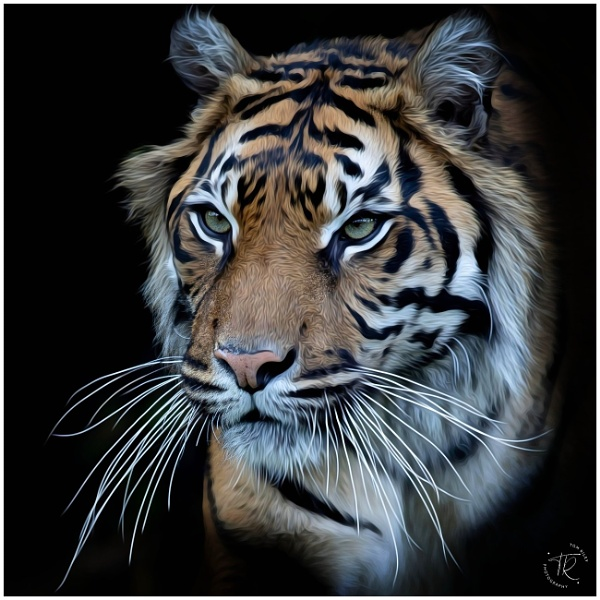 Tiger by tomriley