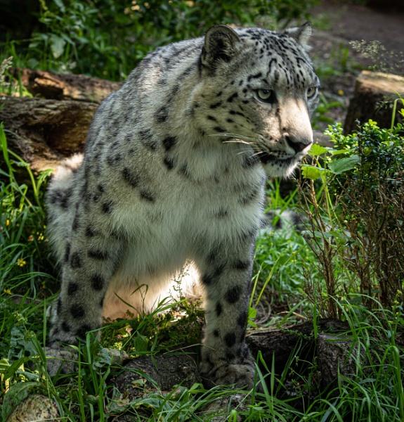 Snow Leopard by RonDM