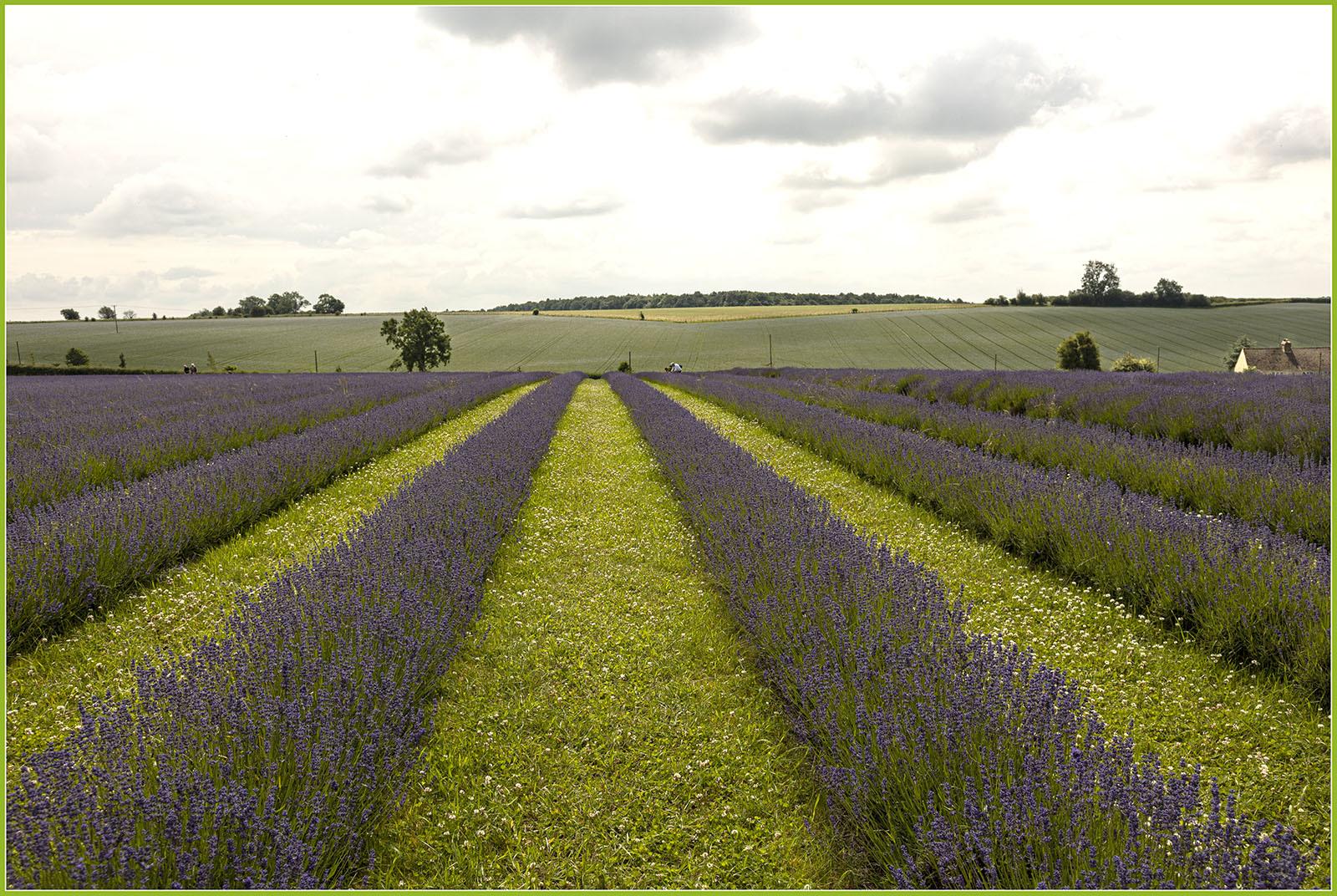 Snowshill Lavender Farm Cotswolds