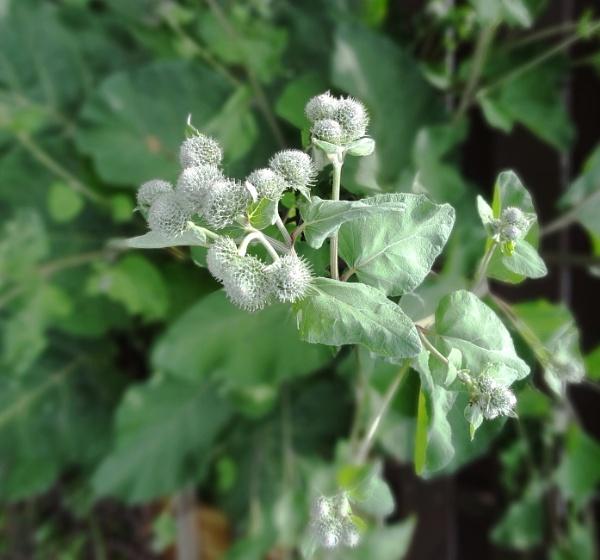 Burdock seeds by SauliusR