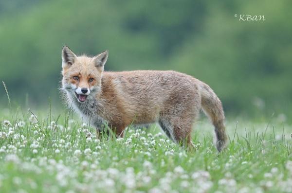 Happy Fox by KBan