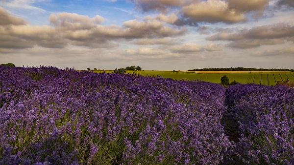 Cotswold Lavender Fields by VincentChristopher