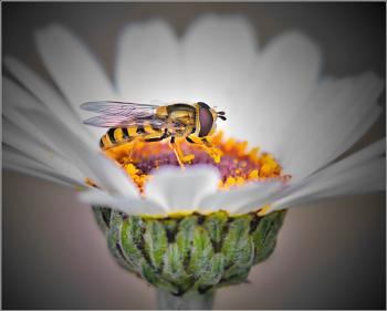 Harry Hoverfly and the Goblet of Fire.