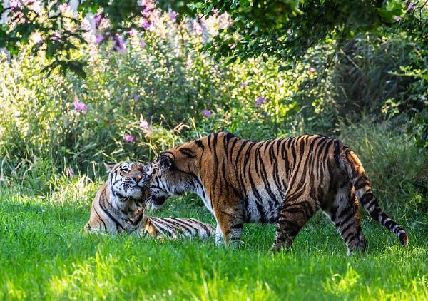 Friendly Tigers by martin.w