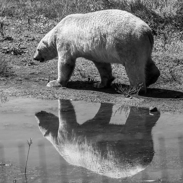 Polar Bear x2 by martin.w