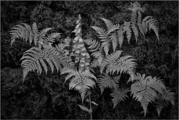 Foxglove and Ferns