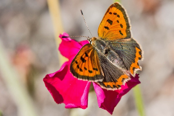 A Small Copper Butterfly by johnsd