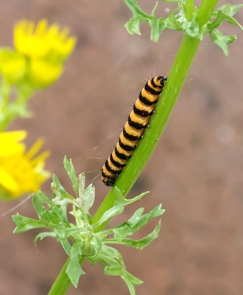 Cinnabar moth caterpillar by oldgreyheron