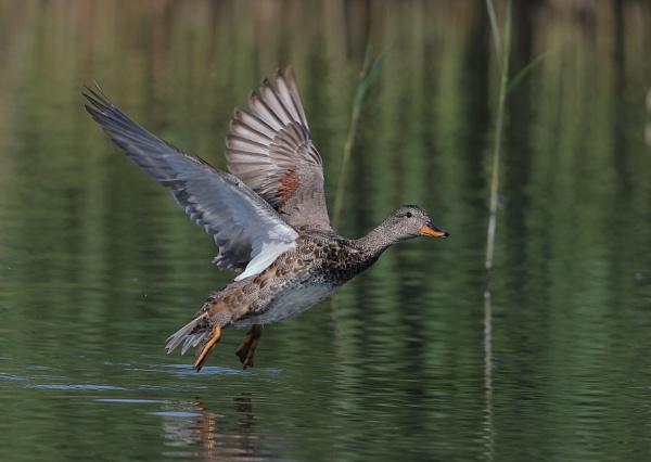 Gadwall in Flight by NeilSchofield