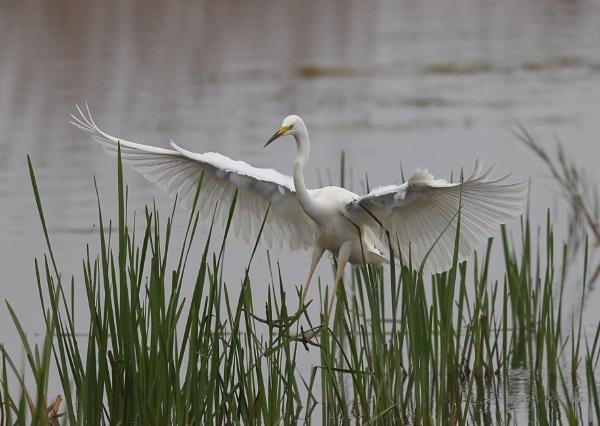 Great Egret by NeilSchofield