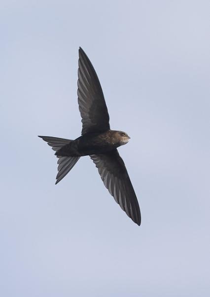 Swifts in Flight by NeilSchofield