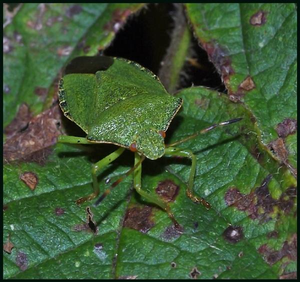 Green Shield Bug on a Bramble Leaf :- by Badgerfred