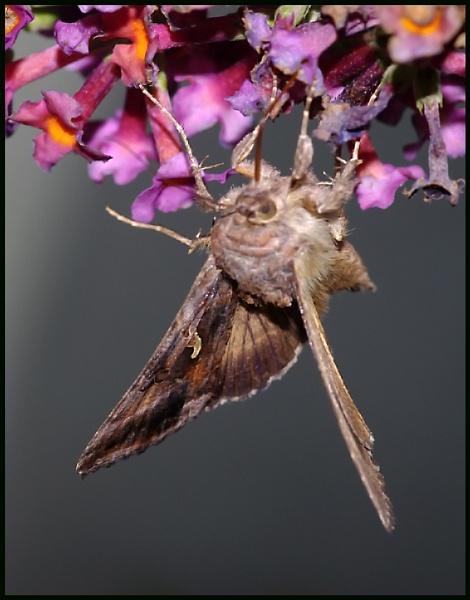 A Silver Y Moth :- by Badgerfred