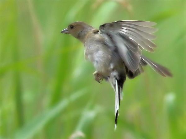 Chaffy Flight by TerryMcK