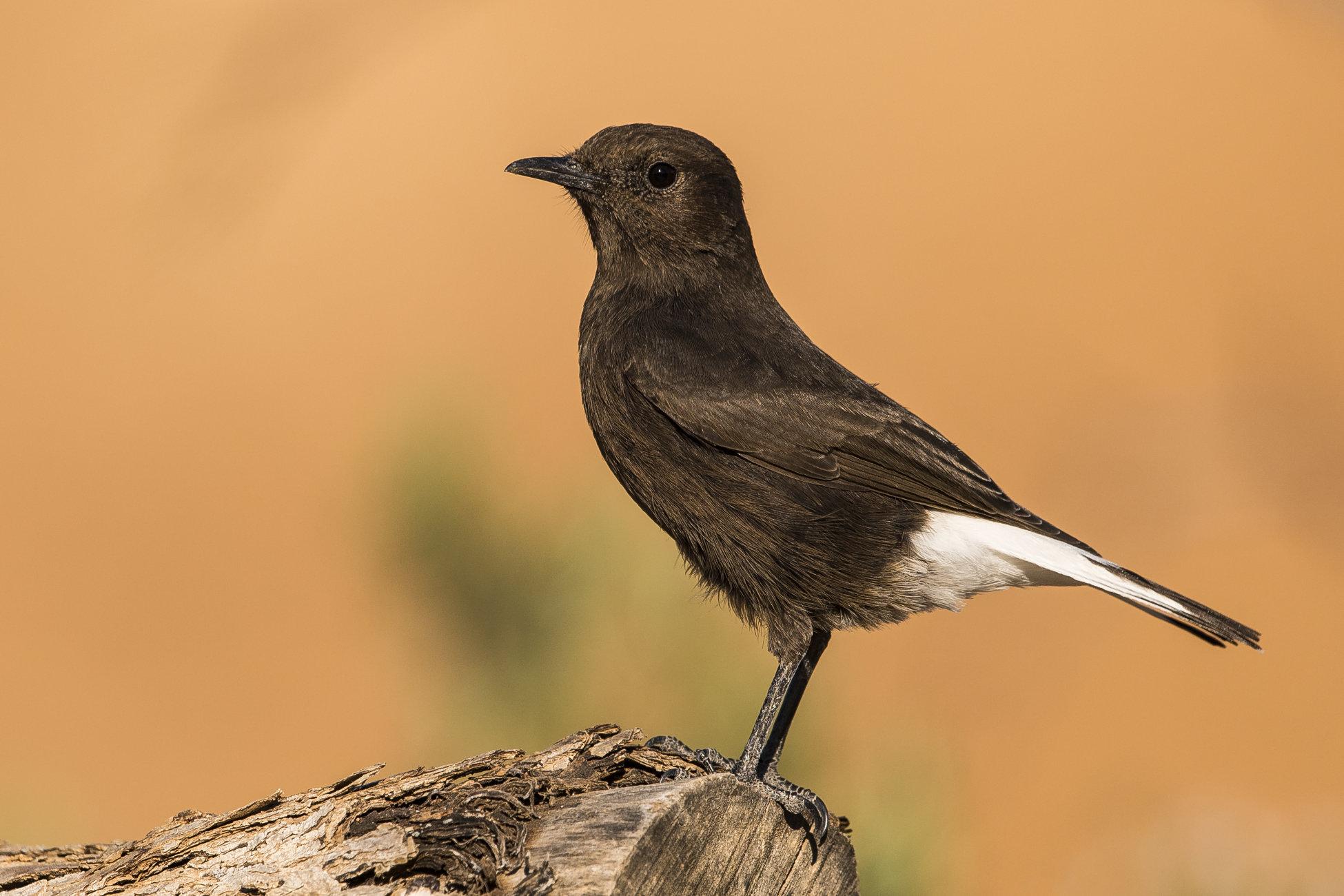 Black Wheatear - Female