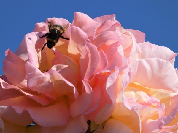 Bee on Rose by ELLISON58