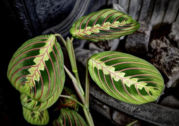 Prayer Plant by nclark