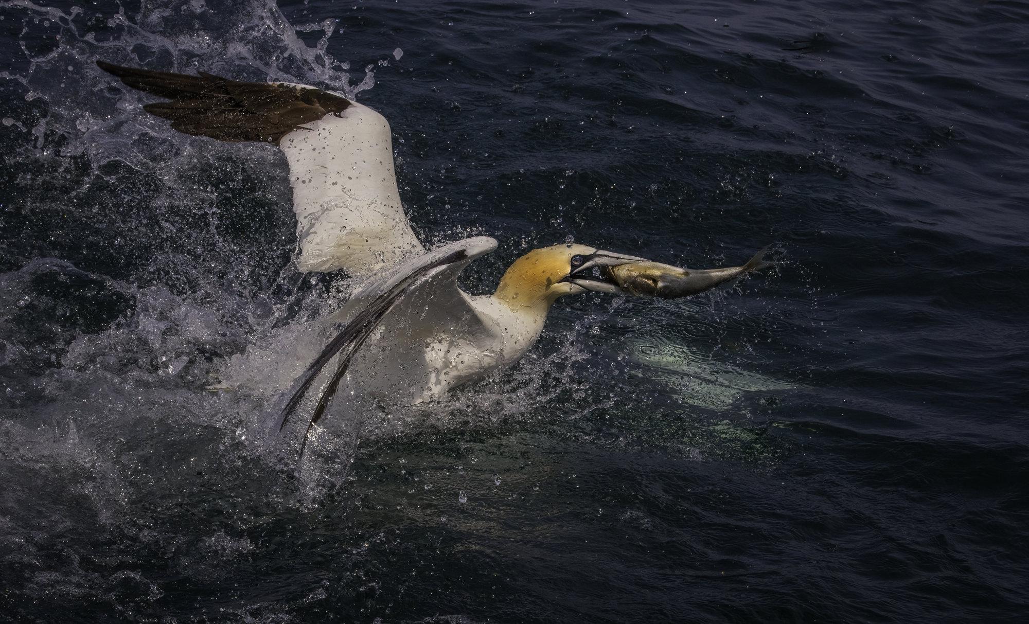 Feeding gannets