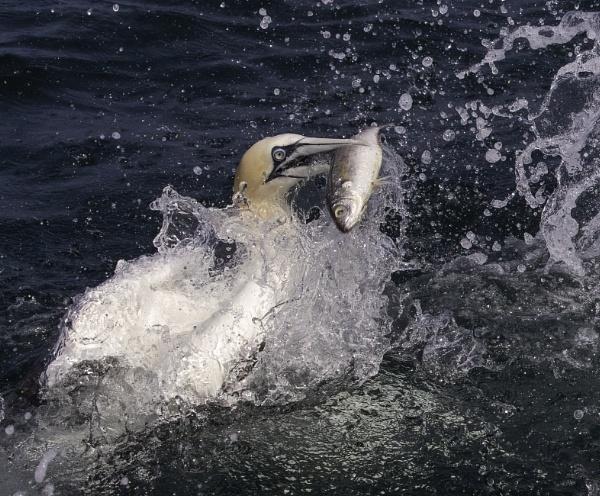 Feeding Gannet by esoxlucius