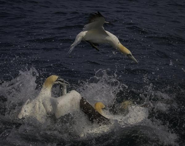 Feeding Gannets off Bempton cliffs by esoxlucius