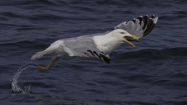 Greedy Gull by esoxlucius