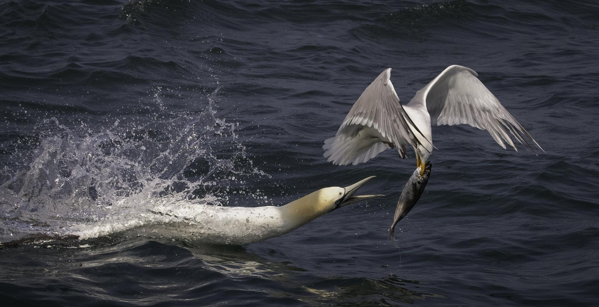 Gannet chasing gull